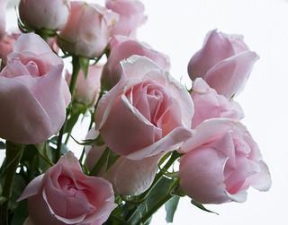 pink-rose_2