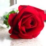 red-rose_2