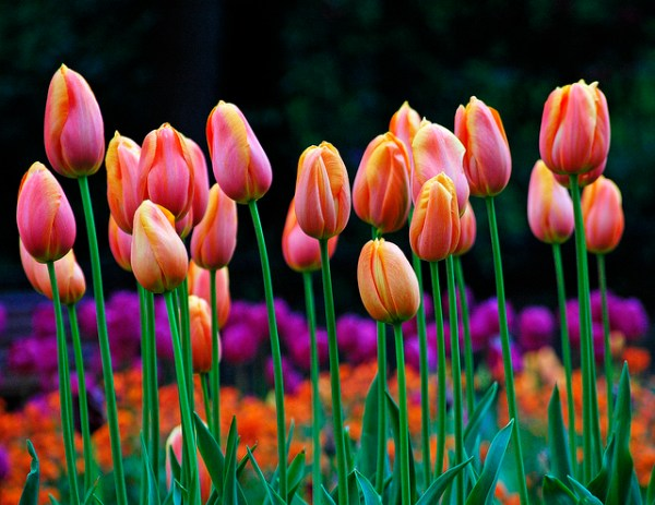 ピンク の チューリップ 花 言葉