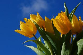 yellow-tulip