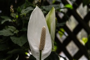 Spathe flower-01