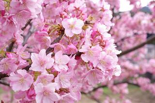 cherry-blossom-kanzakura