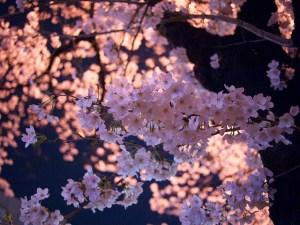 4月1日の誕生花