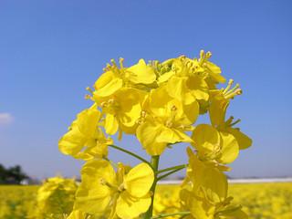 field-mustard_2