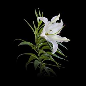 lily-casablanca