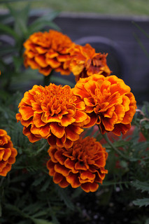 orange-marigold