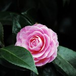 pink-camellia