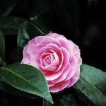 pink-camellia