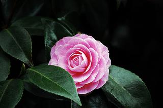ピンクのツバキ
