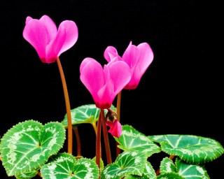 pink-cyclamen