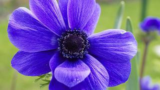 アネモネ 紫