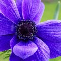 purple-anemone