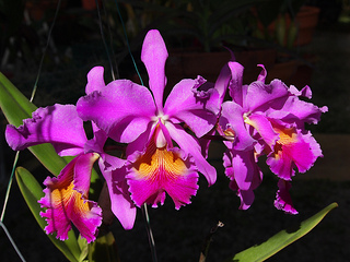 purple-cattleya