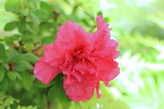 red-azalea