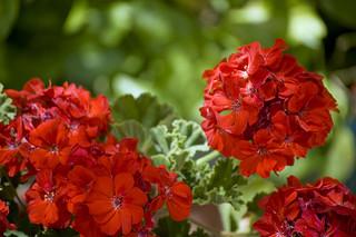 red-geranium