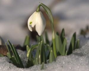 snowdrop_2