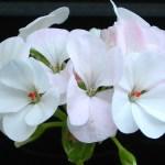 white-geranium