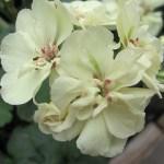 yellow-geranium
