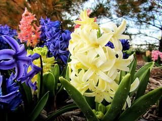 yellow-hyacinth
