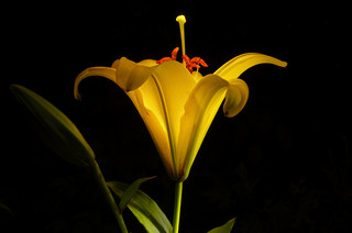 yellow-lily