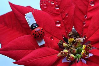 Poinsettia_2