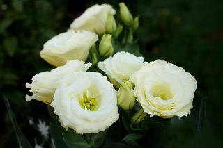 トルコキキョウの花