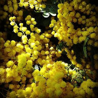mimosa_2