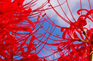 red-spider-lily_3