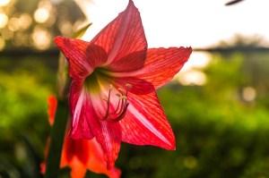 アマリリスの花言葉