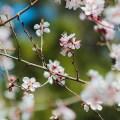 apricot-blossom