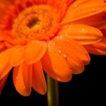 gerbera-orange
