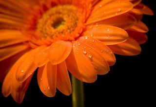 オレンジのガーベラ