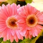 gerbera-pink