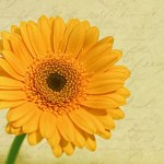 gerbera-yellow