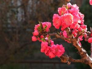 peach-blossom