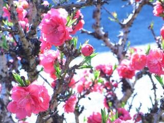 peach-blossom_2