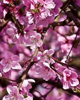 peach-blossom_3