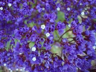 statice-purple