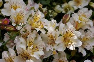 alstroemeria-white