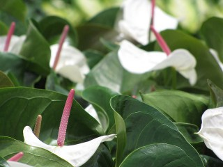 anthurium-white