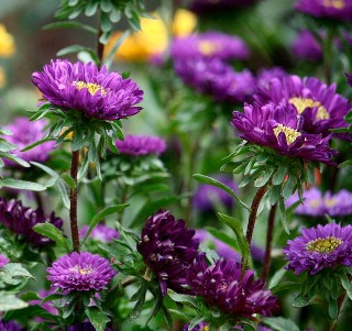aster_purple