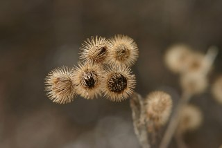 burdock_3
