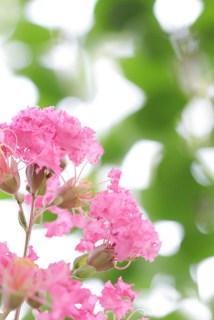 ピンクのサルスベリ