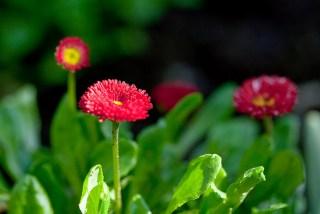 daisy-red