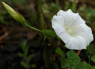 白いヒルガオ