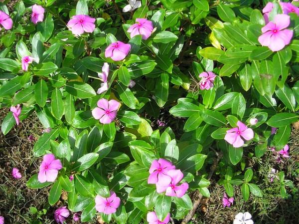ニチニチソウの花言葉