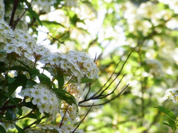 コデマリの花言葉