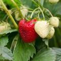 Strawberry-01