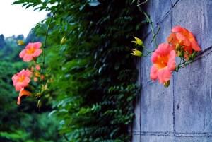 ノウゼンカズラの花言葉