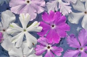 Japanese primrose-03